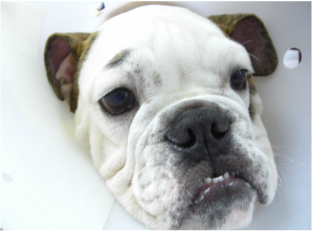 Cherry eye post-surgery in a bull dog
